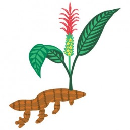 Curcuma Longa illustrations by Joren Eulalee for Shoots & Roots Bitters
