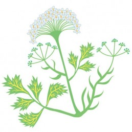 Pimpinella Anisum - illustrations by Joren Eulalee for Shoots & Roots Bitters