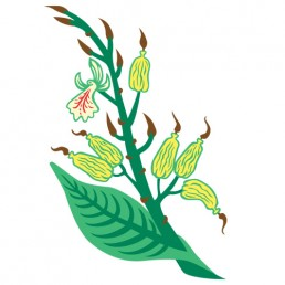 Elettaria Cardamomum - illustrations by Joren Eulalee for Shoots & Roots Bitters