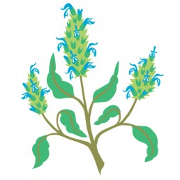 Salvia Hispanica - illustrations by Joren Eulalee for Shoots & Roots Bitters