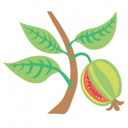 Psidium Guajava - illustrations by Joren Eulalee for Shoots & Roots Bitters