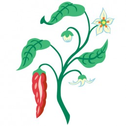 Capsicum Annuum - illustrations by Joren Eulalee for Shoots & Roots Bitters