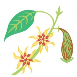 Chimonanthus Praecox - illustrations by Joren Eulalee for Shoots & Roots Bitters