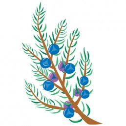 Juniperus Communis - illustrations by Joren Eulalee for Shoots & Roots Bitters