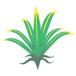 Pandanus Utilis - illustrations by Joren Eulalee for Shoots & Roots Bitters