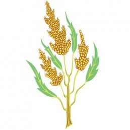 Chenopodium Quinoa - illustrations by Joren Eulalee for Shoots & Roots Bitters