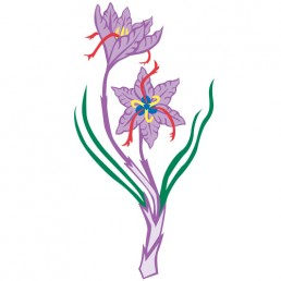 Crocus Sativus - illustrations by Joren Eulalee for Shoots & Roots Bitters
